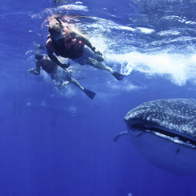 Snorkelers with whale shark