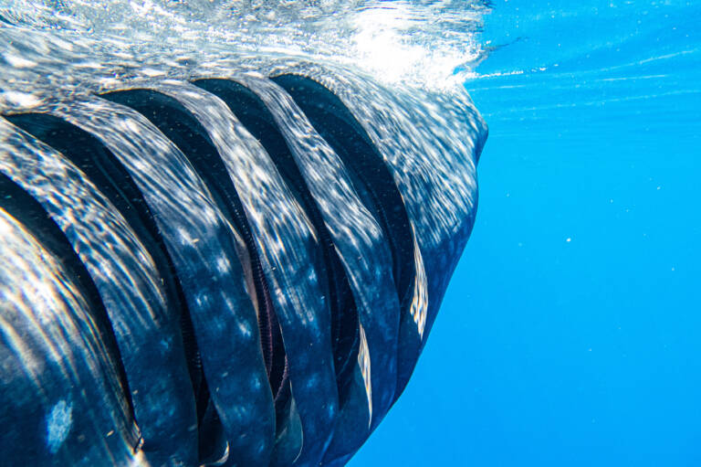 Whale shark gills